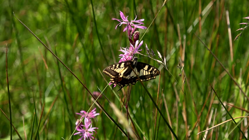 Swallowtail butterfly subspecies Papilio machaon found only in East of England endangered species fenlands Norfolk Broads UK 4K
