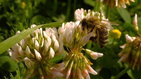 Macro shot of honey bee crawling on head of clover flower, collecting nectar. A group of clover flowers is in the background.