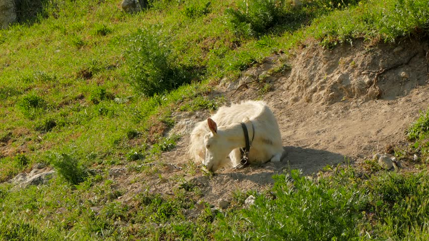 A white goat, chained by a chain, lies in the dust on the ground.