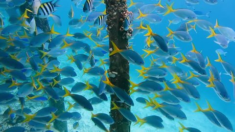 Swarm of yellow tail fusilier, Caesio cuning, swimming near pier pole, Raja Ampat, Indonesia