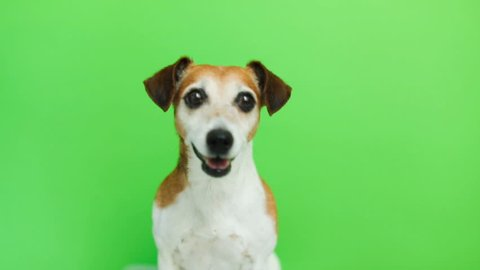 Active energetic dog portrait. comes and goes twice. licking.Video footage. Green chroma key background. Lovely white Jack Russell terrier dog.