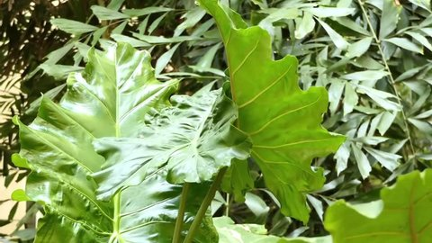 Alocasia macrorrhizos is species of flowering plant in arum family, Araceae. Names include giant taro, ape, giant alocasia and pai. In Australia - cunjevoi.