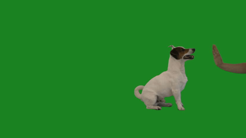 jack russell terrier gives paw on green screen, slow motion #1012458584