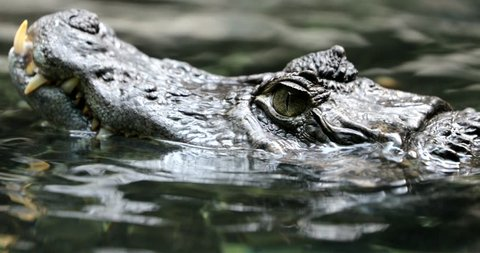 video approached the snout of the  common caiman