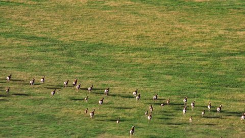 A beautiful aerial view of a herd of antelope dashing across a western desert landscape