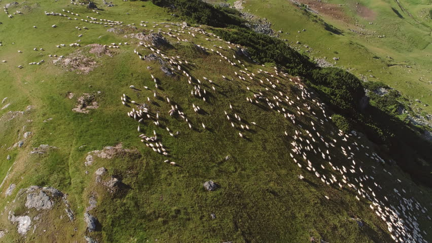 Flock of sheep being herded over the mountains, Translapina pass