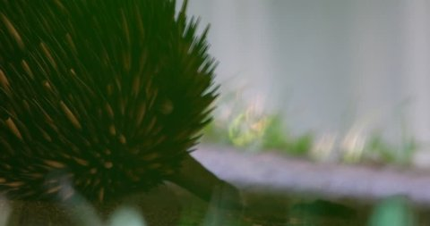 echidna sleeping balled up under car refusing to come out in suburbs