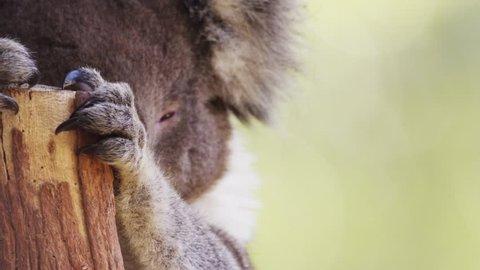 Koala Bear wild Australian animal