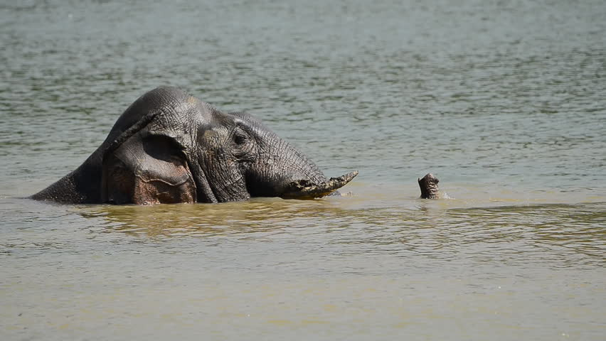 Elephant  bathing in the big lake showering with trunk in hot summer season at Khao yai national park thailand. Elephant in the lake. #1012561934