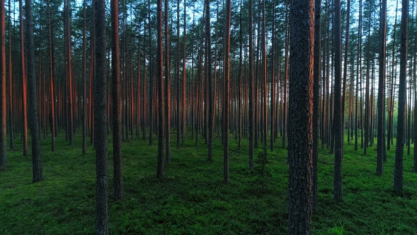 Beautiful countryside pristine nature, forward motion view on evergreen forest with long parallel trees trunks, illuminated purple bark stems and lush green grass | Shutterstock HD Video #1012563974