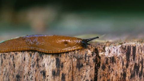 Brown snail in forest, on a tree trunk. Macro shoot of snail.High details and blurred background.