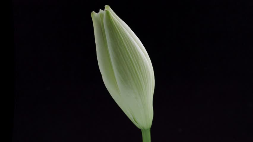 Beautiful White Lily flower bud blooming timelapse, extreme close up. Time lapse of fresh Lilly opening closeup. Isolated On Black background. 4K UHD video 3840X2160