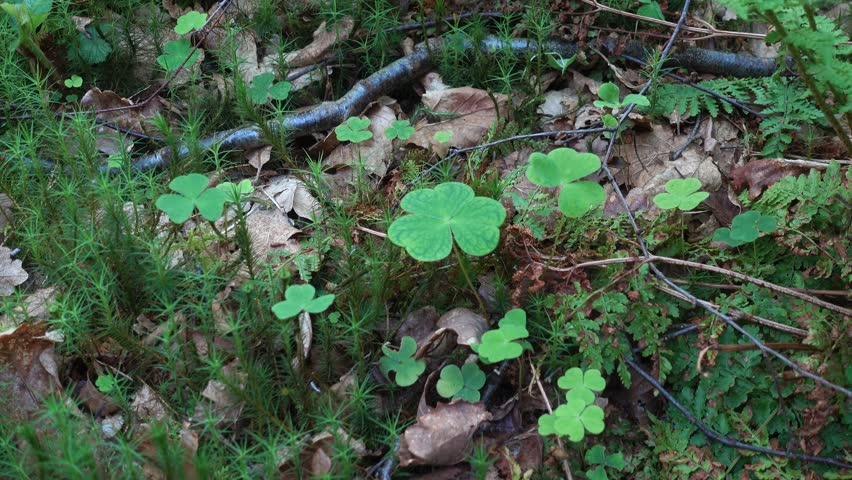 Shamrock in the forest