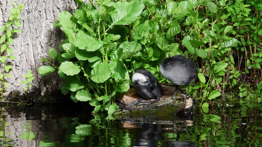 Cote preening, feeding and disciplined at a pond in Drottningholm, Stockholm