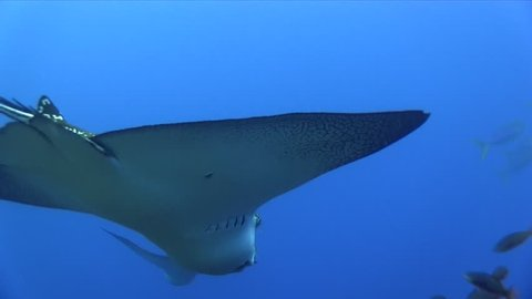 Spotted eagle ray (Aetobatus narinari) on the cleaning station in Pacific ocean Galapagos islands Darvin