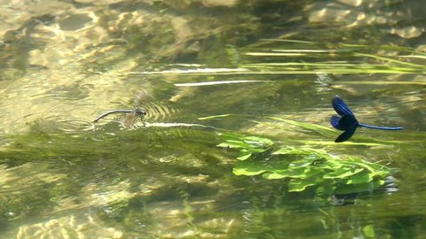 A pair of dragonflies Beautiful Demoiselle (Calopteryx virgo), love games over the water, slow motion. Slowed down 8 times
