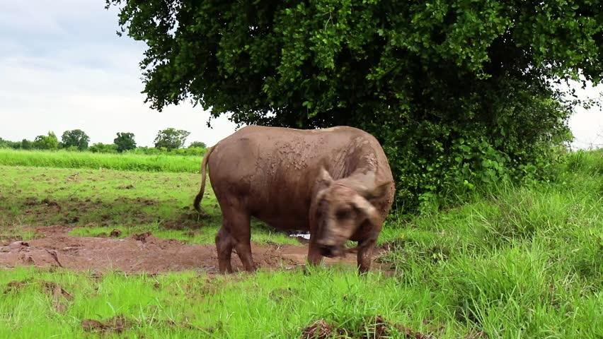 Thai buffalo is standing on the beautiful green field. #1012710764