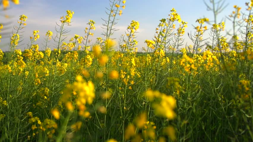 Blooming canola field. Rape on the field in summer. Bright Yellow rapeseed oil. Flowering rapeseed. Full HD video footage 1080p