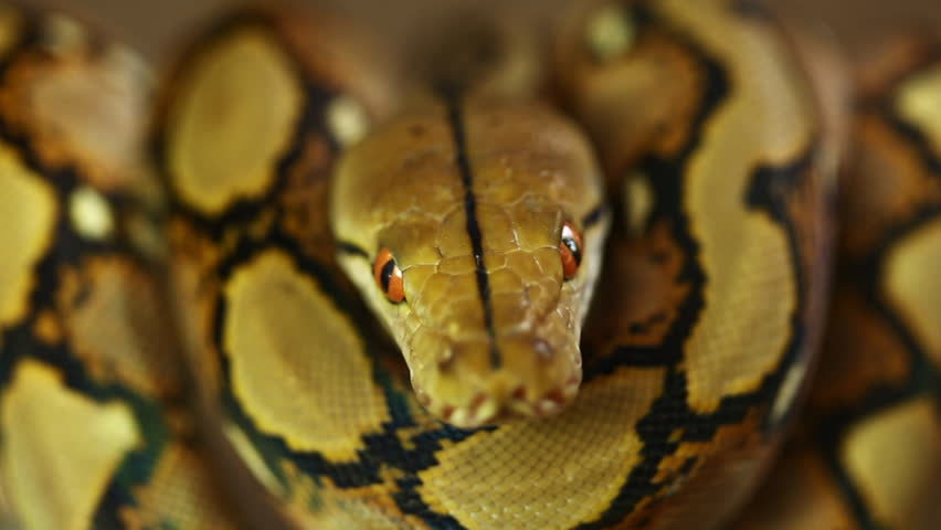 Close up of Python Wild Stock Footage Video (100% Royalty-free) 1012742744  | Shutterstock