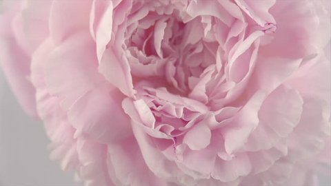 Beautiful pink Peony background. Blooming peony flower petals center rotation, close-up. Wedding backdrop, Valentine's Day concept. Beauty spring romantic rose flower rotated 4K UHD video