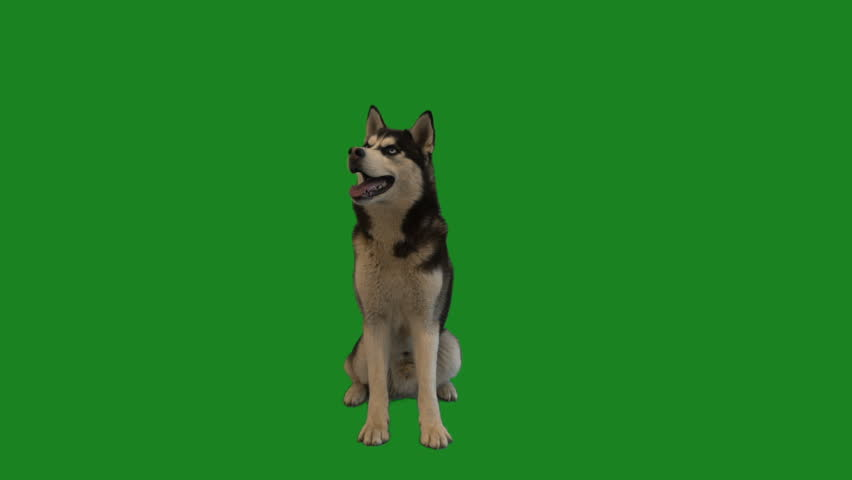 husky barks on a green screen #1012836074