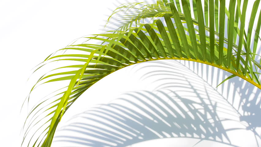 closeup the motion of palm leaves and shadows on a white wall background.