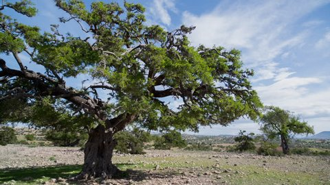 timelapse of a beautiful argan tree in the sous valley, morocco