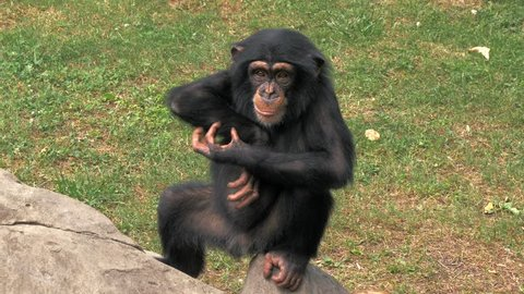 Portrait of young chimpanzee sitting on a rock and scratching himself at zoo