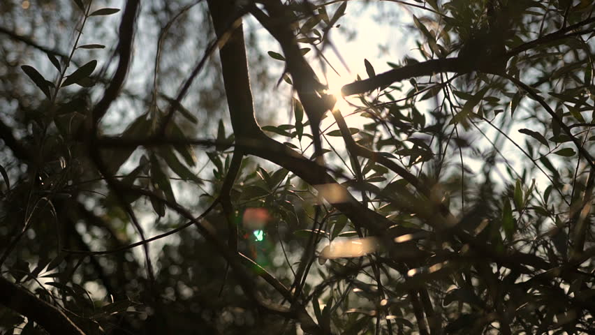 Close up view of green Olive branch tree with rays of sun in the background | Shutterstock HD Video #1012871864
