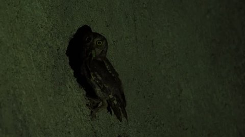 European Scops-Owl (Otus scops) nesting in the water tube in the wall. Adults feeding youngsters at night.