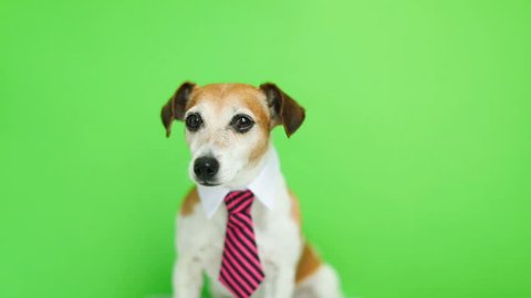 dog in pink tie and shirt collar sitting, turning head and looking to the cam. Green chroma key background. Video footage