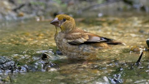 Hawfinch (Coccothraustes coccothraustes) bathing