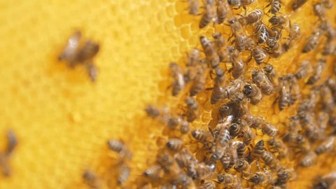 closeup of bees on honeycomb in apiary .selective focus slow lifestyle motion video. Bee honeycombs with honey and bees. Apiculture concept