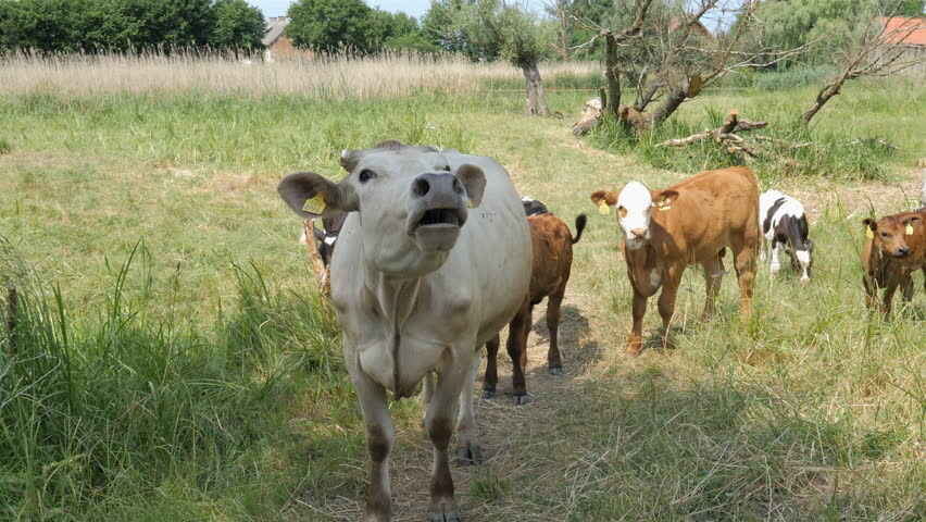 Funny cows in the meadow goes moo, with audio.