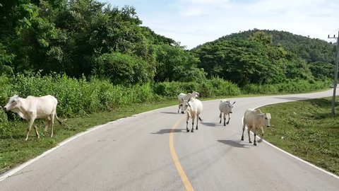 Cows on the road .Cow walking on the street,Chiang Mai ,Thailand.