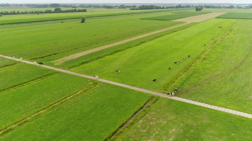 Aerial static footage of Holstein Friesians moving back to the farm byre they are breed of dairy cattle originating from the Netherlands they are known as worlds highest-production dairy animals 4k
