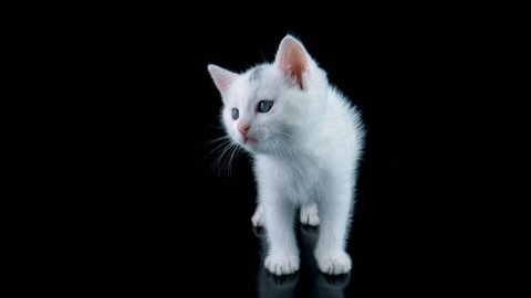 Beautiful white cat meows, looking around, walks to close-up view, isolated on black background, ProRes source codec