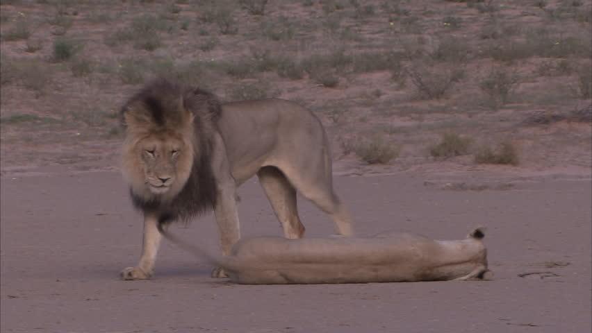Kalahari lions mating on an open pan