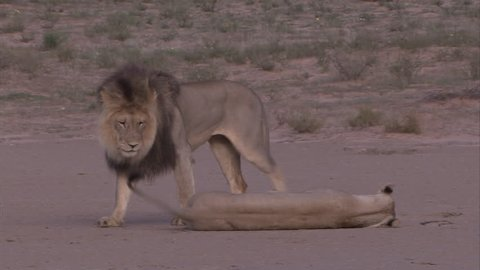 Kalahari lions mating on an open pan