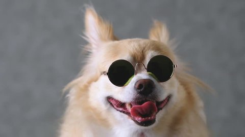 funny chihuahua brown dog wear sun glasses with grey leather background 4k format