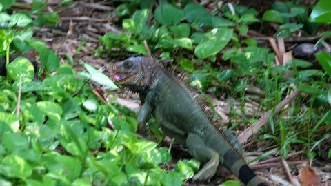 American green iguana eating leaves in the rainforest. The green iguana, also known as the American iguana, is a large, arboreal, mostly herbivorous species of lizard of the genus Iguana.
