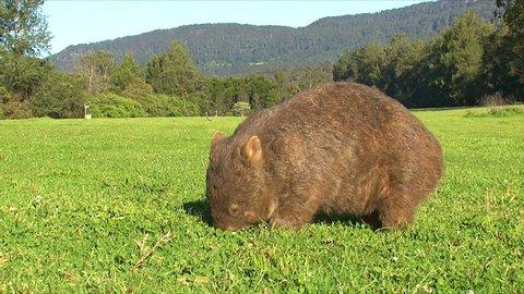 AUSTRALIA - CIRCA 2017 - A wombat grazes on grass in Australia.