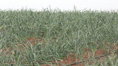 Field of leek in the winter