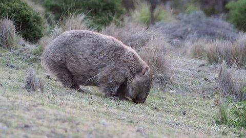 Vombatus ursinus - Common Wombat eating grass in Tasmania, Australia
