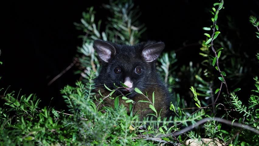 Common Brush-tailed Possum - Trichosurus vulpecula -nocturnal, semi-arboreal marsupial of Australia, introduced to New Zealand, looking for food and eating leaves.
