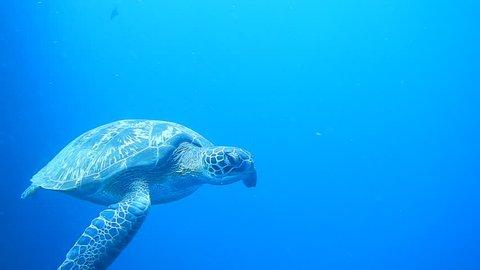 Sea turtle swimming at Bunaken beach - Manado - Sulawesi, Indonesia