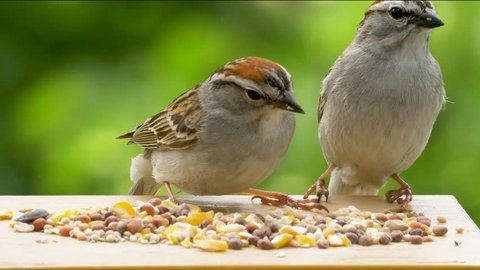 A pair of sparrows feeding take off and fly away