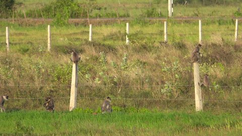 Tufted gray langur (Semnopithecus priam) monkeys cross farm field in Anuradhapura, Sri Lanka
