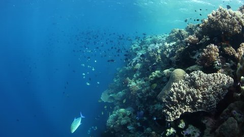Schooling Redtooth triggerfish and other species swim along the edge of a dramatic coral reef drop off in Wakatobi National Park, Indonesia. These are planktivorous fish, quite common in the region.