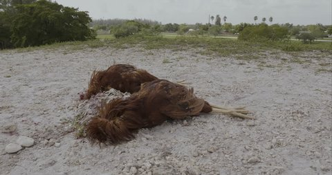 two dead roosters reddish lying on the ground next to a rock without the head to give it as a sacrifice in some kind of religion
